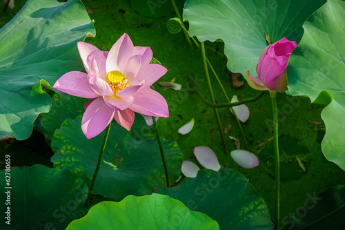 Nelumbo nucifera flower and its fallen petals