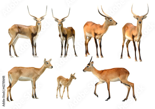 In de dag Antilope collection of red lechwe isolated