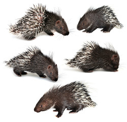 collection of porcupine isolated