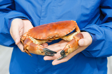Closeup of man hands holding cooked crab