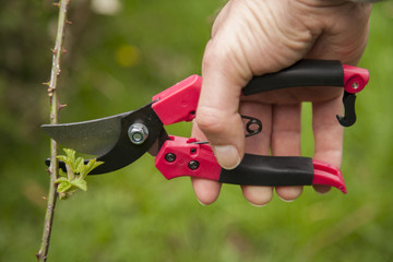 Close up pruning of brambles with secateurs