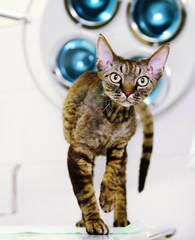 Devon rex cat in veterinary clinic