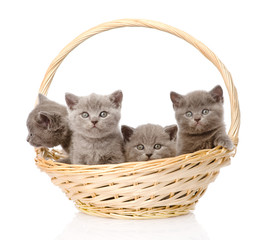 group british shorthair kittens in basket. isolated on white