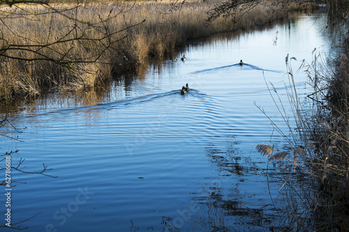 ducks swimming on reed lined lake