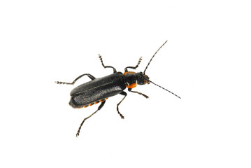 The soldier beetle Cantharis obscura on white background