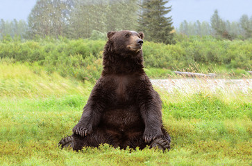 Grizzly bear sitting on the grass. Coastal Brown Bear, Alaska