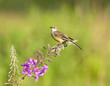 Yellow Wagtail on the fireweed flower