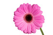 canvas print picture - Bright and large pink gerbera on the white background.