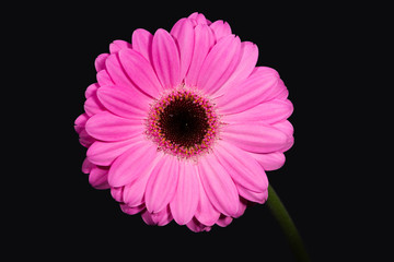 Bright and large pink gerbera on the black background.