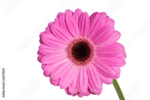 Bright and large pink gerbera on the white background.