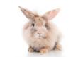 Kleines Kaninchen Freisteller