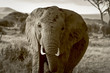 African elephant staring at viewer in sepia