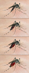 Tiger mosquito (Aedes albopictus) having a blood meal