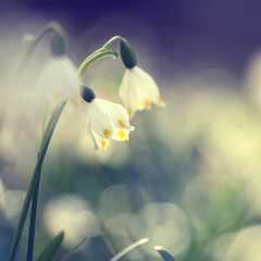 Retro blurry snowdrops