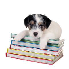 Parson Russell Terrier puppy lying on books