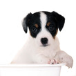 ParsonRussell Terrier puppy isolated