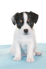 Parson Russell Terrier puppy sitting on blanket