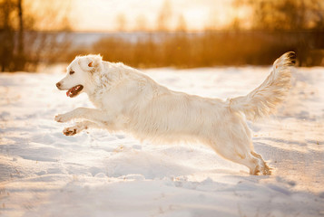 Golden retriever playing on sunset in winter