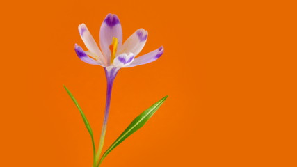 Blooming crocus in timelapse. Brightness stabilized.