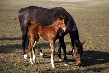 Two weeks old mare and foal horse in pasture