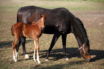 Thoroughbred mare and foal in pasture following mother