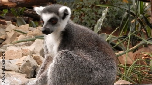 Ring-tailed lemur (Lemur katta)