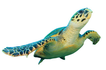 Hawksbill Sea Turtle isolated on white