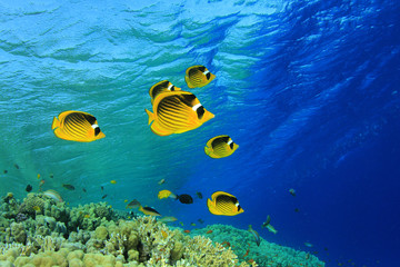 Butterflyfish on coral reef