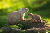 Cute black tailed prairie dog with a youngster poster