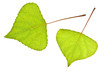 Two Poplar leaf