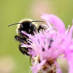 Hummel auf Wiesen-Flockenblume