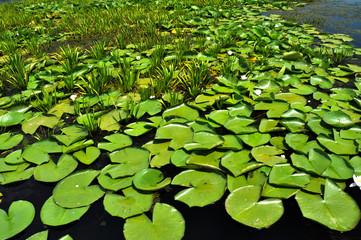 Swamp vegetation in the Danube Delta