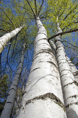 birch trees with fresh green leaves in spring forest