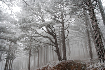 Pine forest covered with frost.