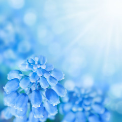 Muscari flowers. Spring easter background