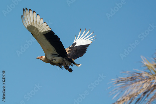Palm-Nut Vulture in flight