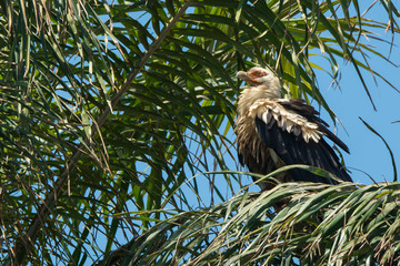 Palm-Nut Vulture with ruffled feathers