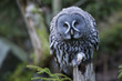Grey owl portrait while eating a mouse