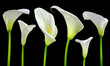 Beautiful white Calla lilies on black background