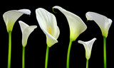Beautiful white Calla lilies on black background