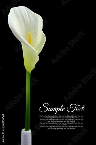 Beautiful white Calla lily on black background