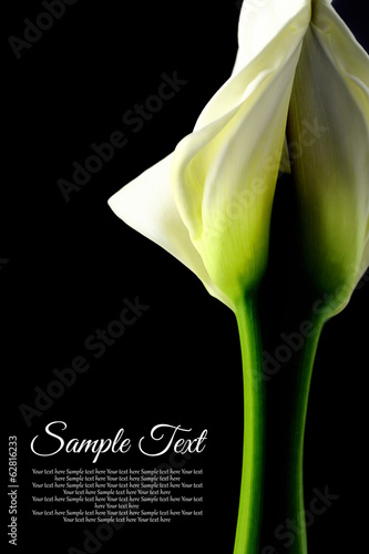 Beautiful white Calla lily with reflection on black background