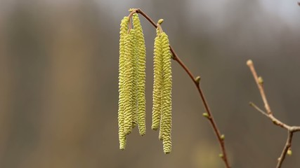 Corylus avellana Hazelnoot male flowers