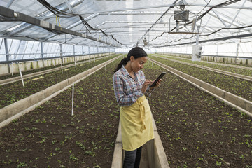 A commercial greenhouse in a plant nursery growing organic flowers. A woman using a digital tablet.