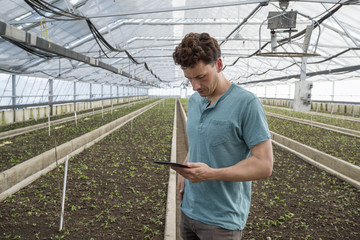 A commercial greenhouse in a plant nursery growing organic flowers. A man using a digital tablet.