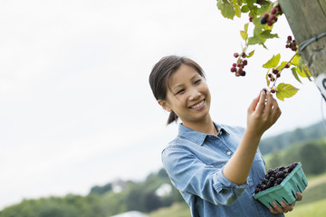 A woman reaching up to pick berries from a blackberry bush on an organic fruit farm.