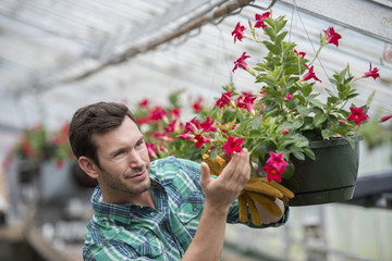 An organic flower plant nursery. A man checking the hanging baskets.