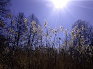 Schilf in der Sonne