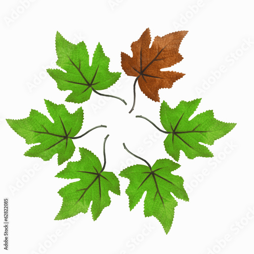 An arrangement of maple leaves in a circle, with one brown one among the green leaves.