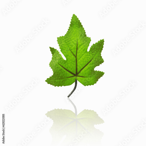 A single green maple leaf, with a reflection.